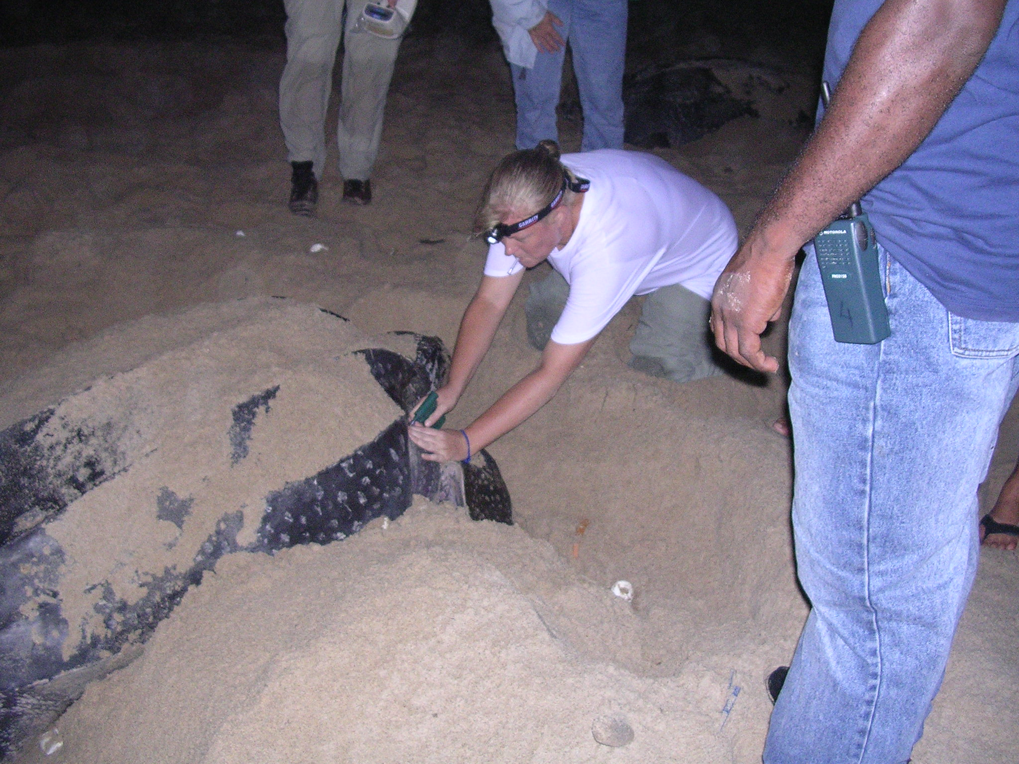 Leatherback in a trance laying eggs